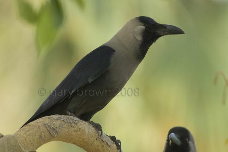 House Crow Corvus splendens