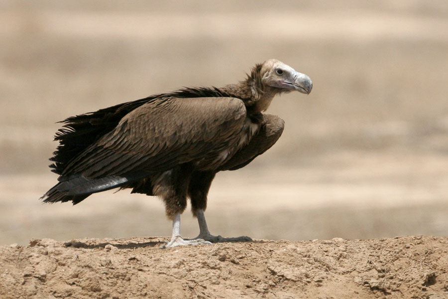 Lappet-faced Vulture Torgos trachielotos