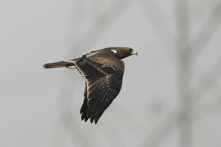 Booted Eagle Hieraaetus pennatus