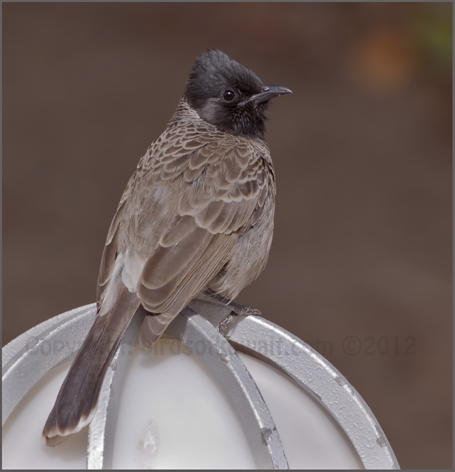 Red-vented Bulbul Pycnonotus cafer
