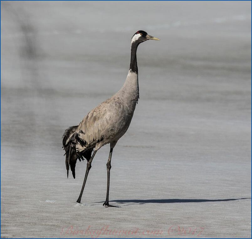 Common Crane Grus grus