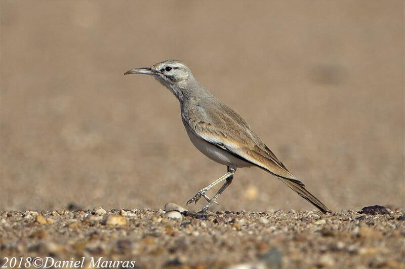 Greater Hoopoe-Lark Alaemon alaudipes