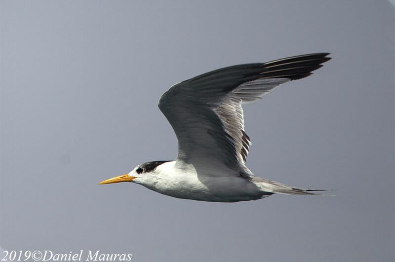Lesser Crested Tern Thalasseus bengalensis