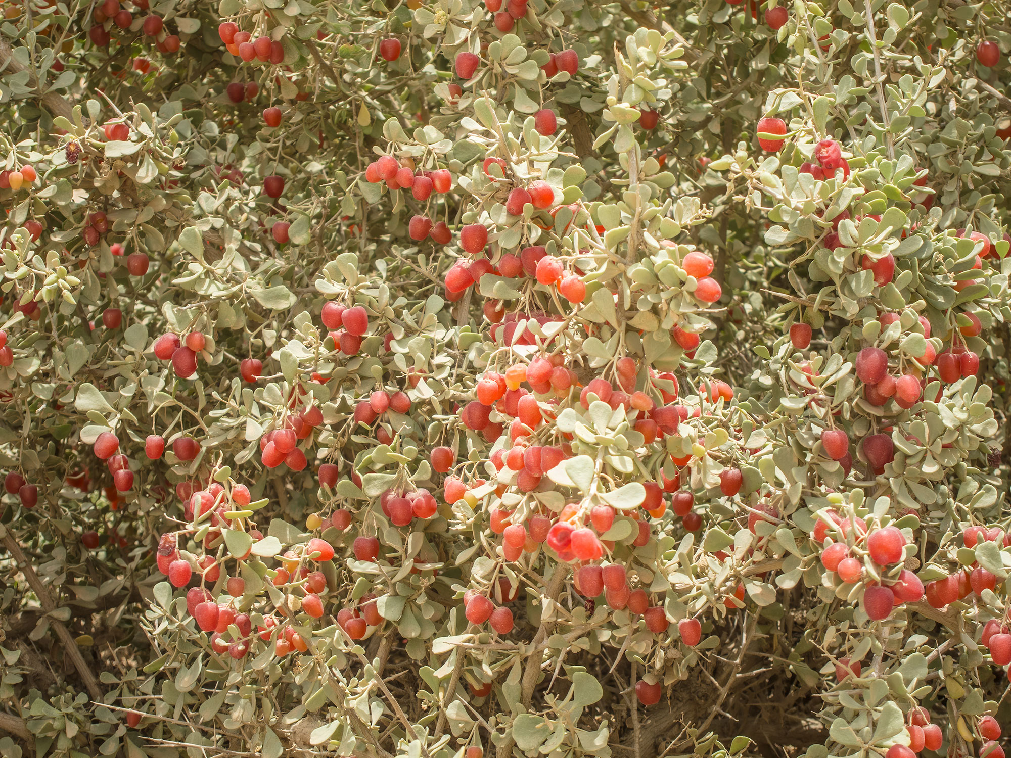 Nitraria retusa bush